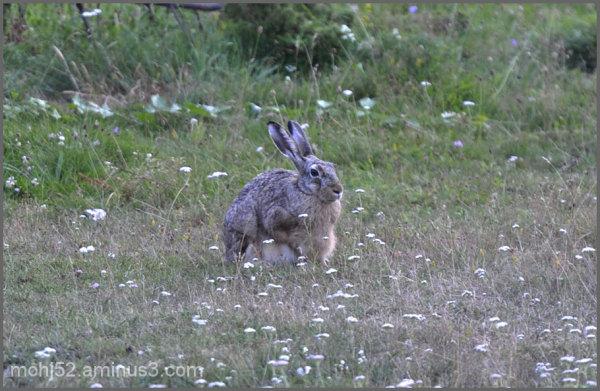 pregnant hare