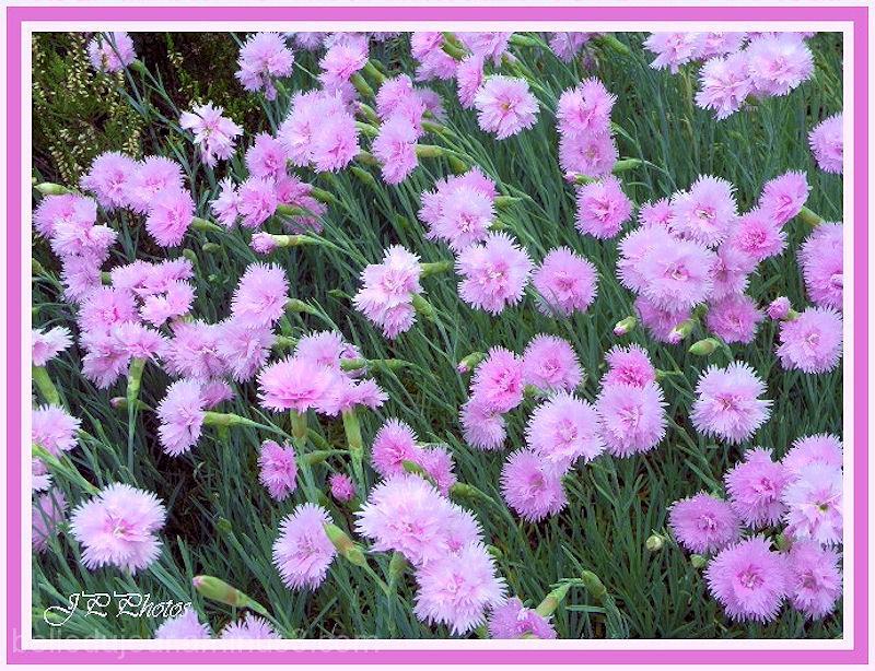 Multitude de fleurs