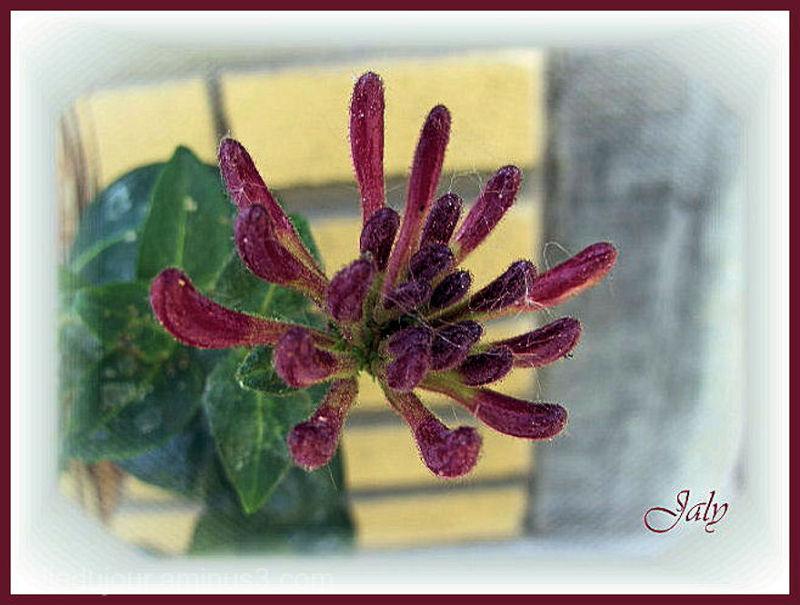Fleur de chèvrefeuille