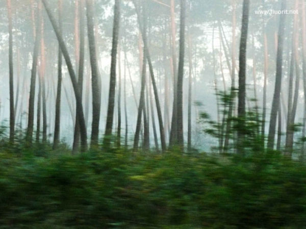 Fog in pines forest