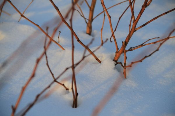 Branches in Deep Snow