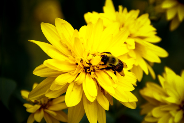 Yellow Flowers and Bee