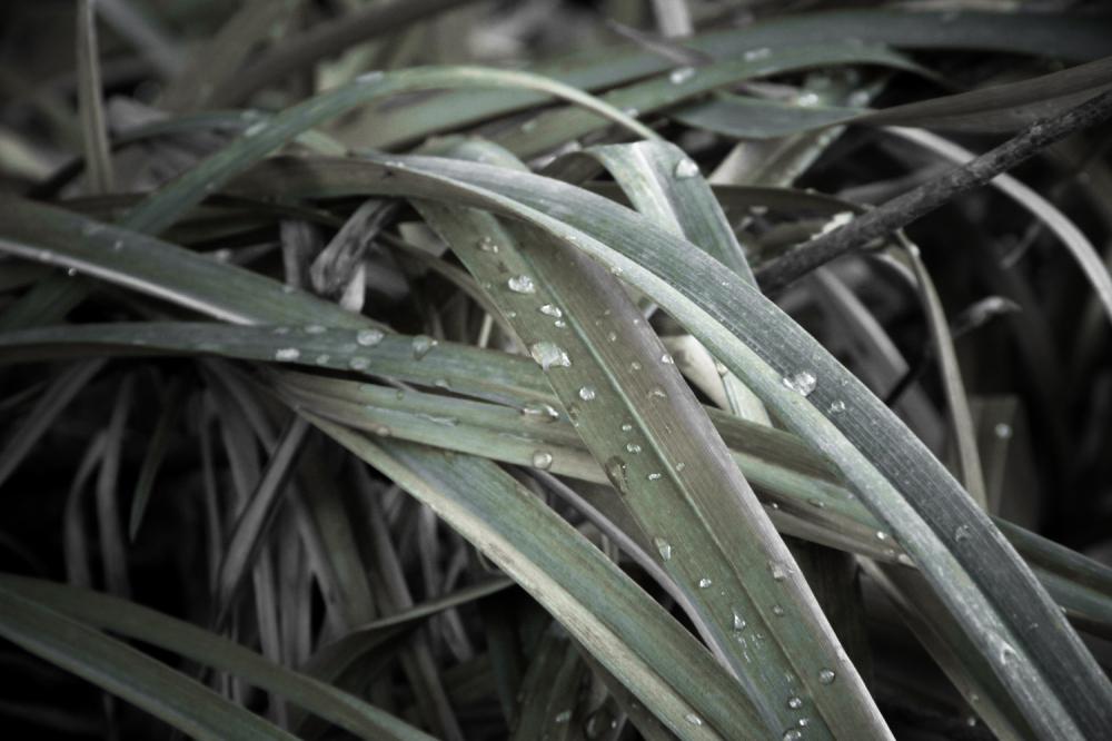 Dew on Blades