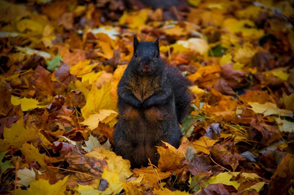 Black Squirrel Leaves