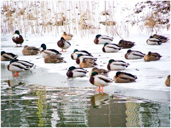 Ducks on ice 2