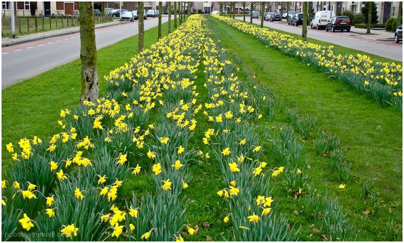 Daffodils in the street 1