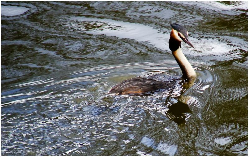 Great Crested Grebe (Fuut)