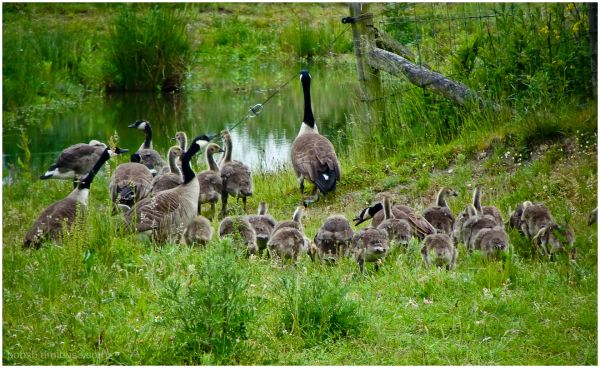 Canadian Geese Clan