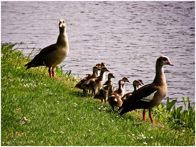 geese family