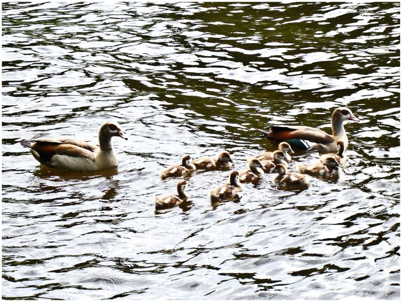 geese family -2-