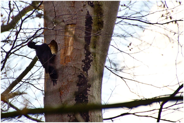 woodpecker 1