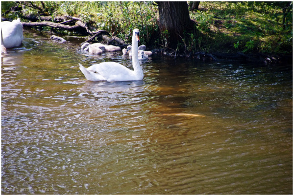 Swan family with big white fish