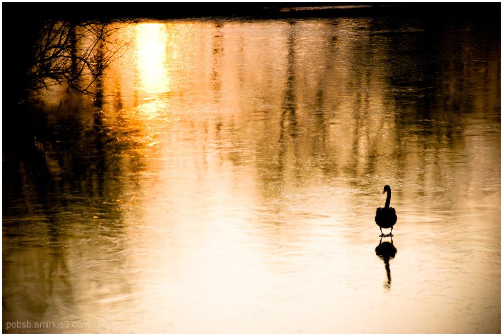 black swan at dusk