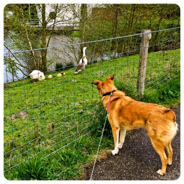 checking the geese