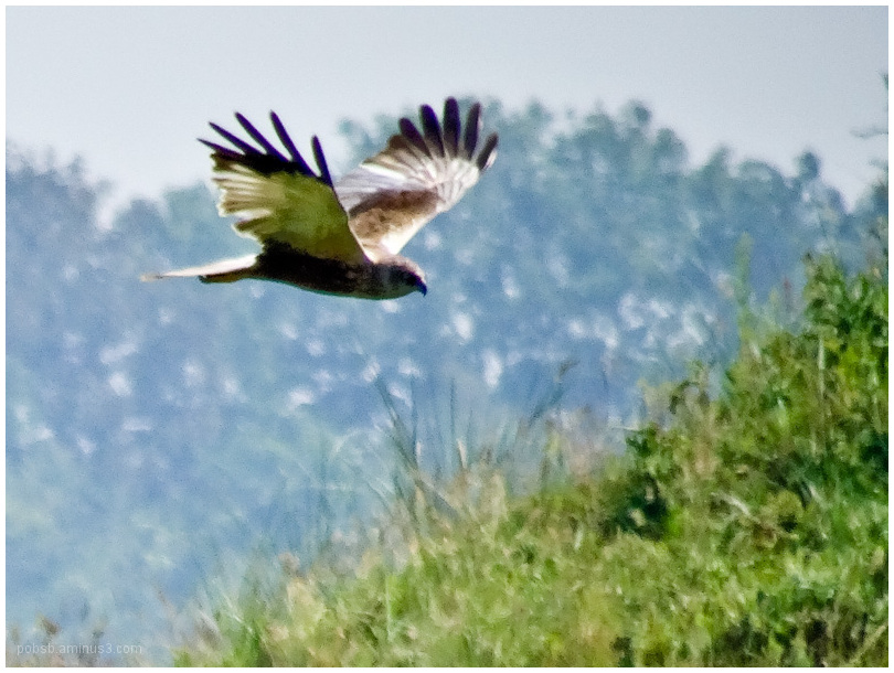 western marsh harrier 2