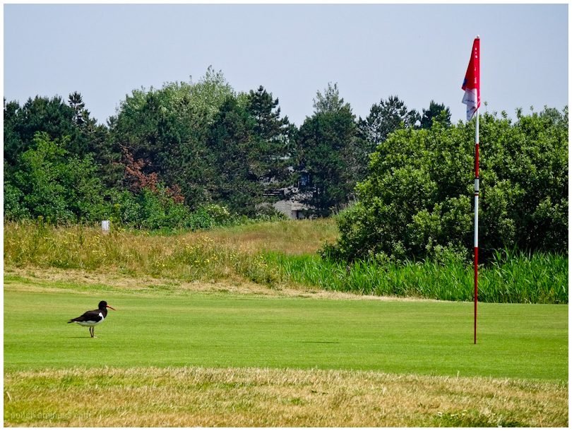 Oyster catcher on the golfcourse