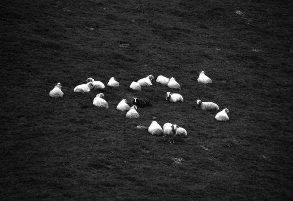 Artaldea/Sheeps