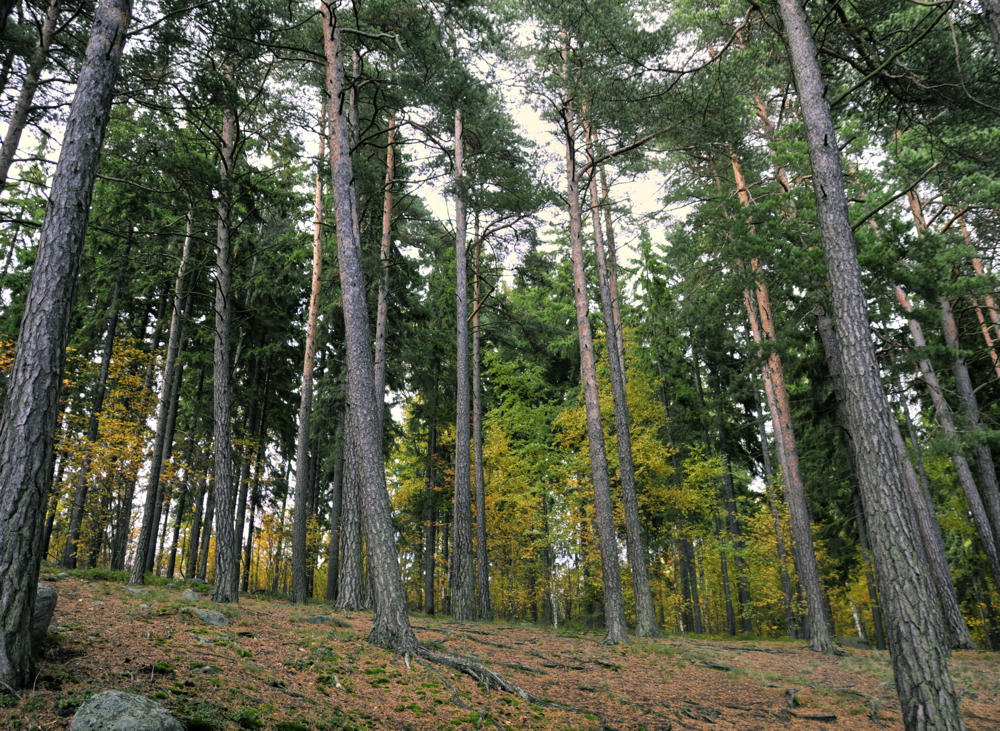 Pinudia/Pine forest