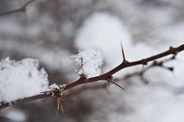 snow on a thorn bush
