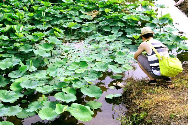 Observing lotus