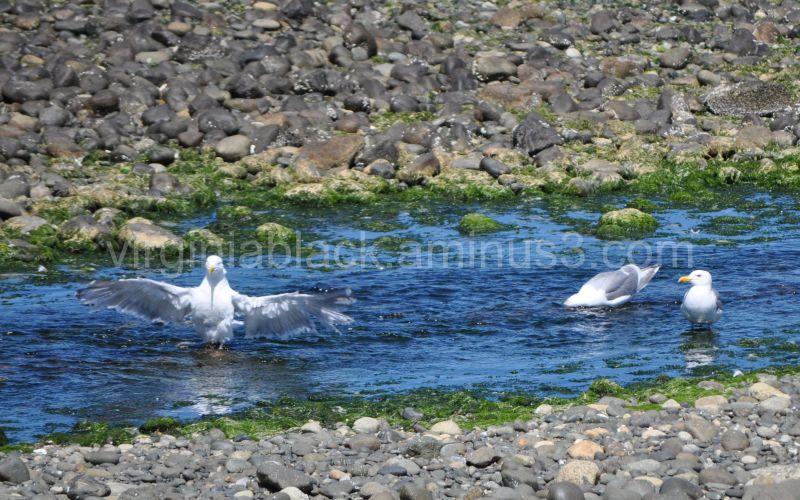 seagull birdbath