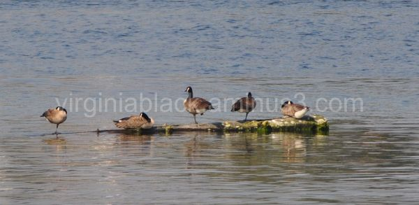 canadian geese morning