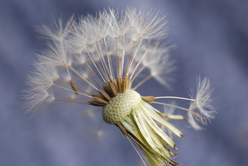 macro dandylion weed