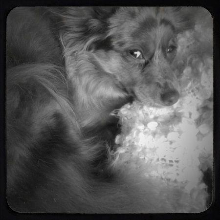 animal pet dog australian shepherd ipone