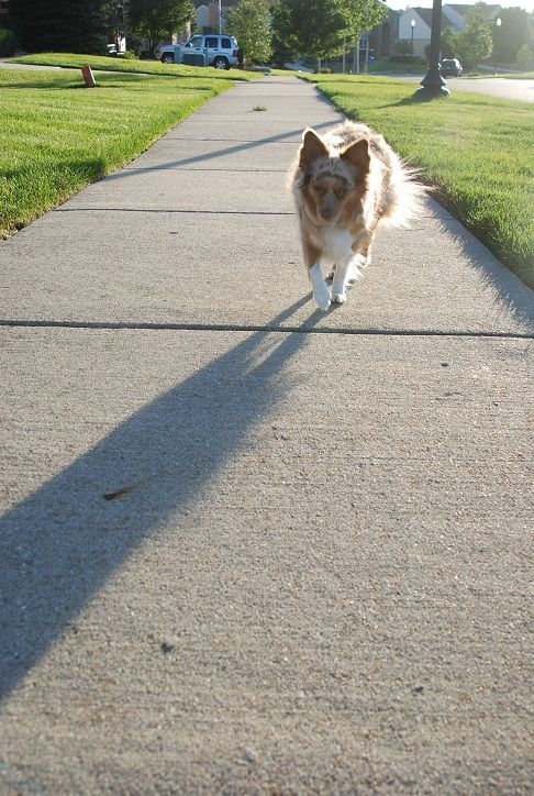animal dog australian shepherd street