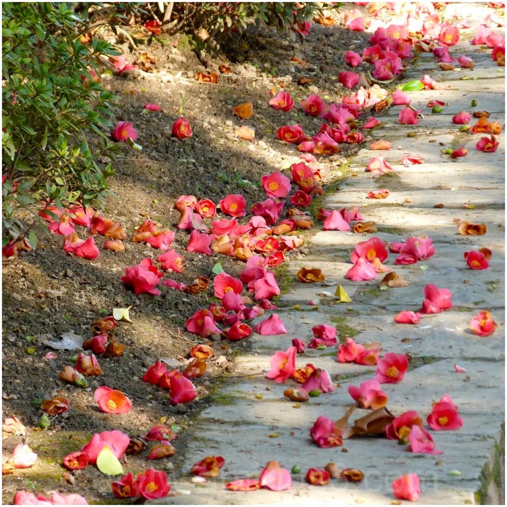 Camellia petals