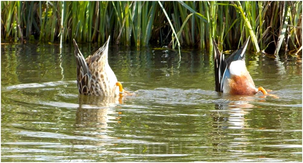Dipping Ducks