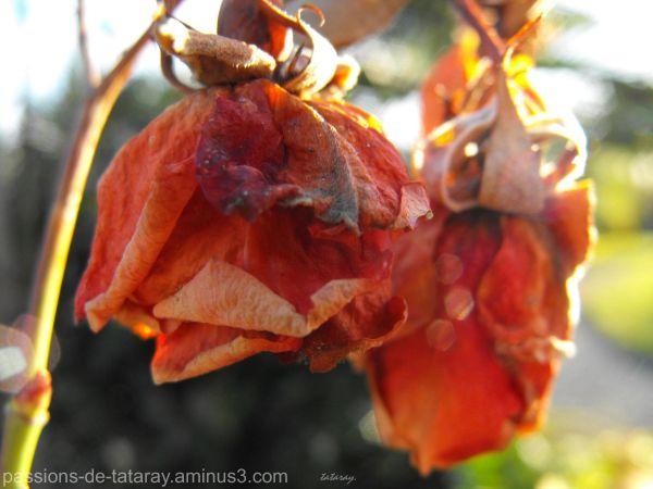 Rose séchée