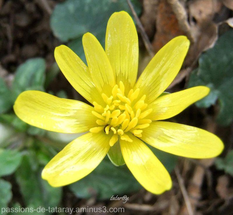 champs Fleur nature jaune