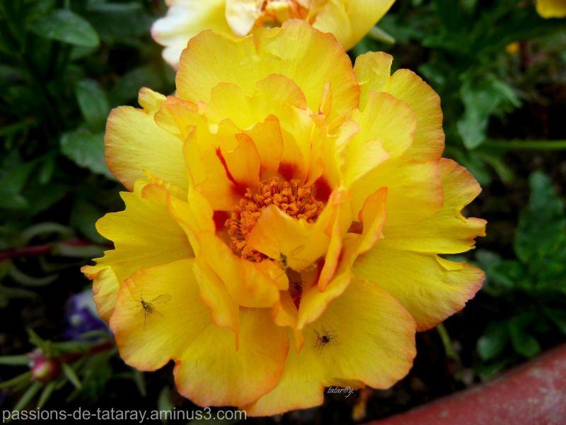 pourpier fleur
