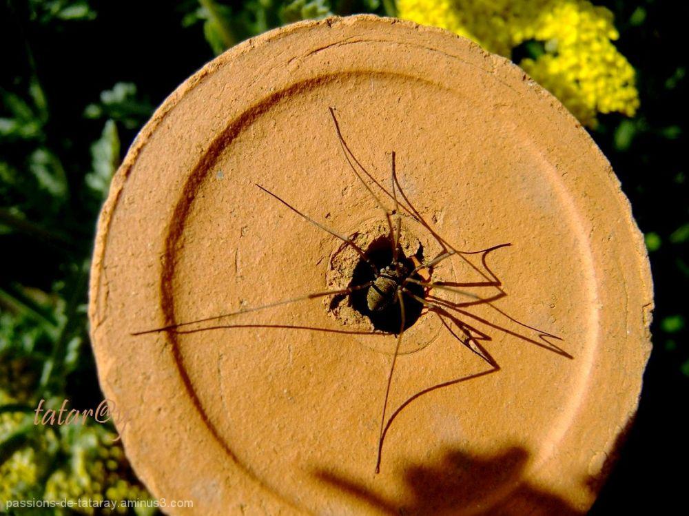 araignée,