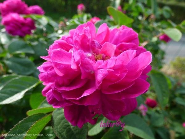 Rose très parfumée.