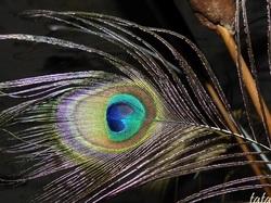 Oeil ...de plume ...