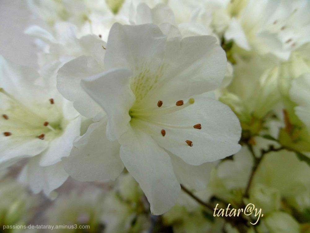 blanche, azalée, jardin