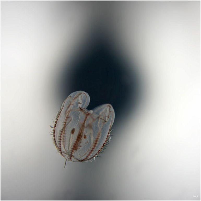 Micro Medusa
