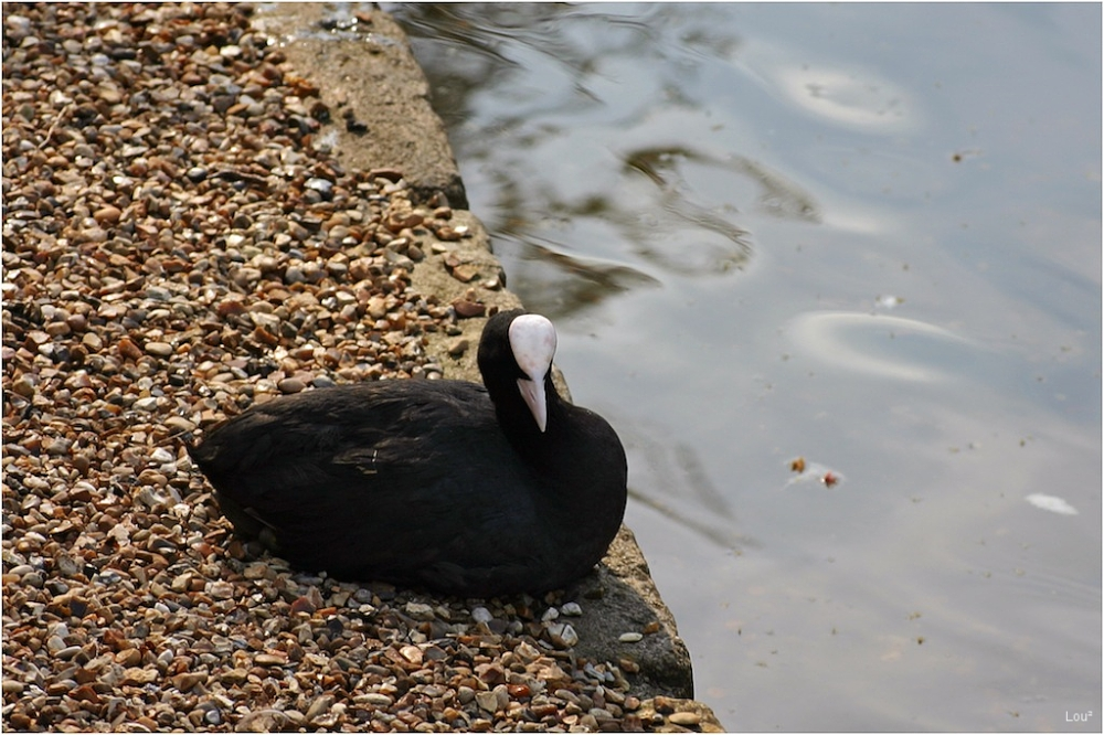The Coot