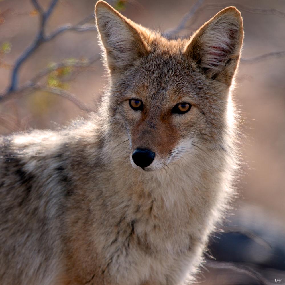 #1038 - Mr Wil. E. Coyote
