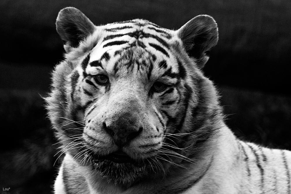 #1041 - White Tiger
