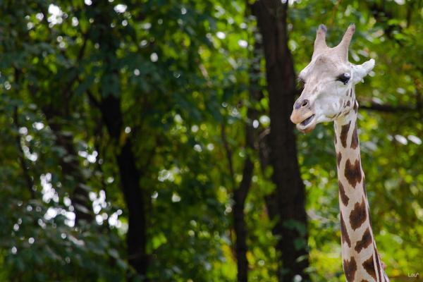 #1060 - Giraffe at the Bronx Zoo