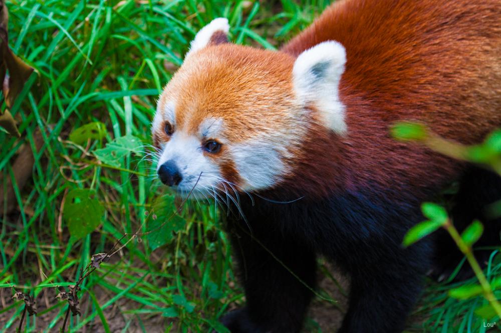 #1064 - Red Panda at the Bronx Zoo