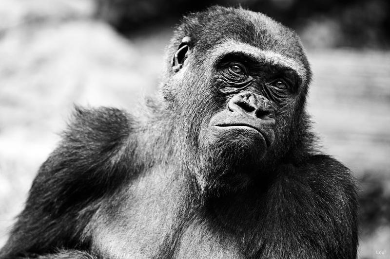 #1069 - Gorilla at the Bronx Zoo