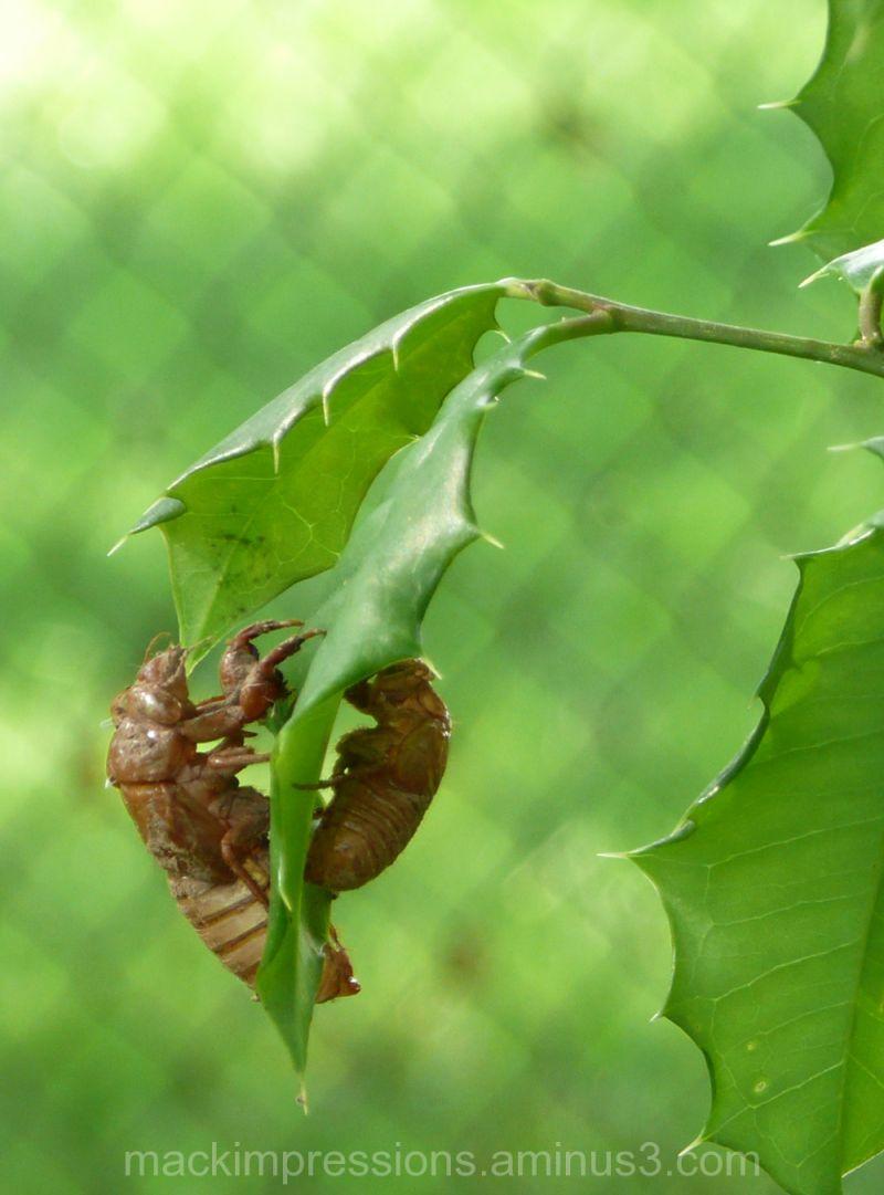 cicada photo by kristen f. mack, mack impressions