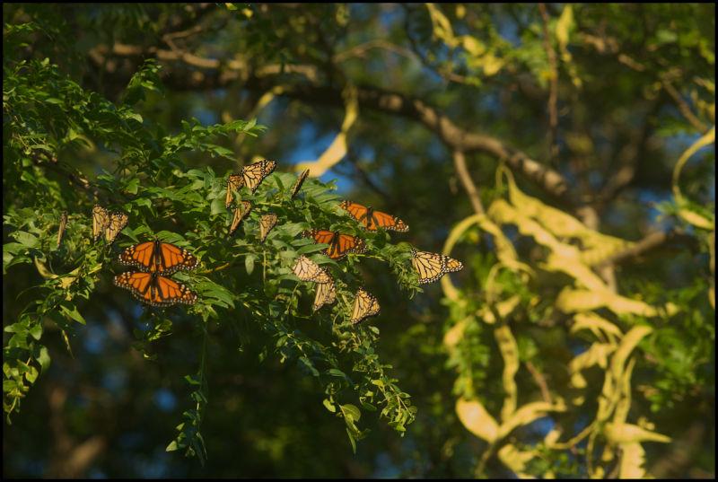 butterflies at sunrise