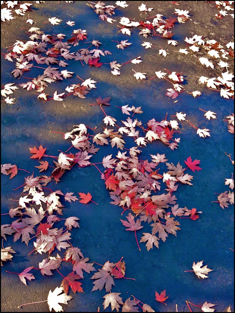 Black Top Red Leaves