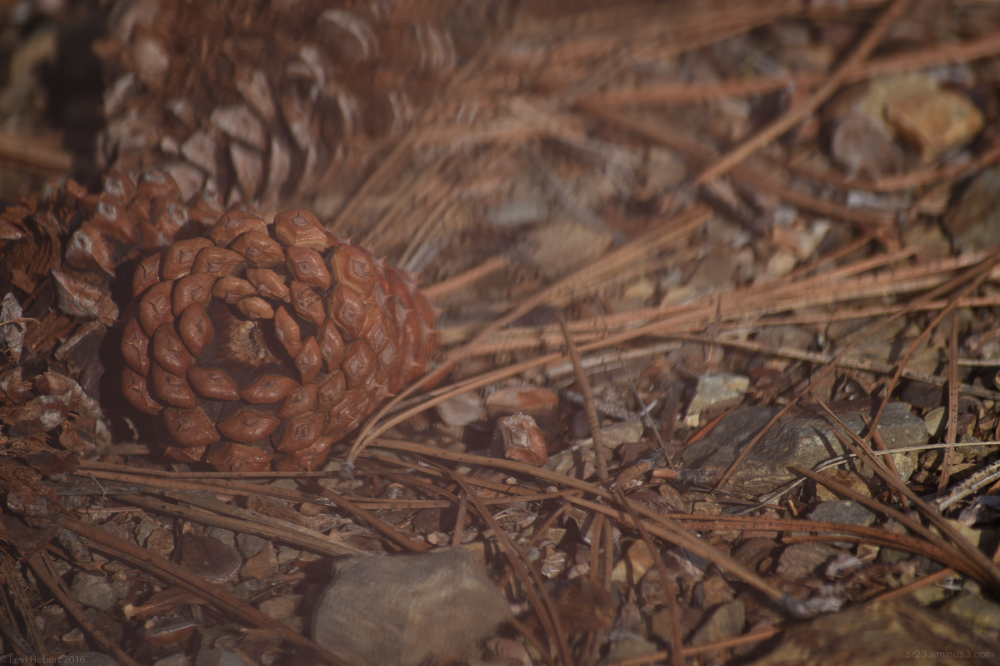 Pinecone on the ground while hiking.