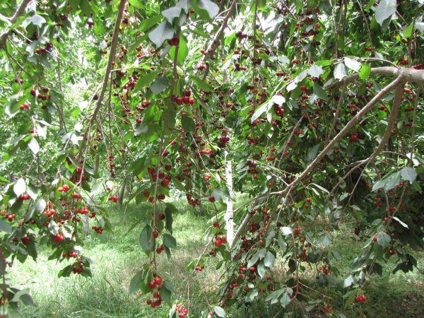 tree full of cherry.